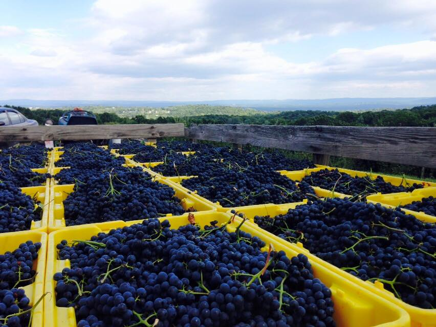Understanding Harvest with Glorie Farm Winery's Doug Glorie