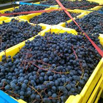 Understanding Harvest with Hudson-Chatham Winery's Carlo DeVito