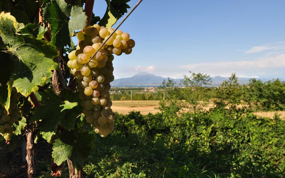 Turbiana – The Grape & the Wine