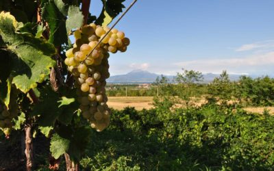 Turbiana – The Grape & the Wine